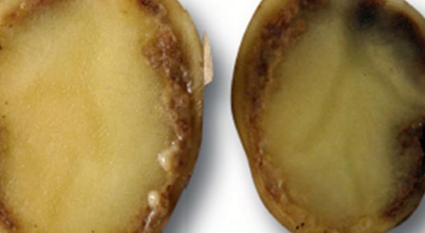 Skuteczność dezynfekcji powierzchni skażonej kwarantannowymi patogenami ziemniaka