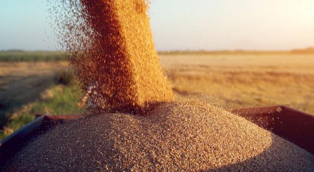 GUS podał wynikowy szacunek zbiorów w 2018 r. – zbóż ogółem mniej o 16 proc.