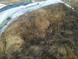Postrzępiona ściana kiszonki to przyczyna wzmożonej wtórnej fermentacji