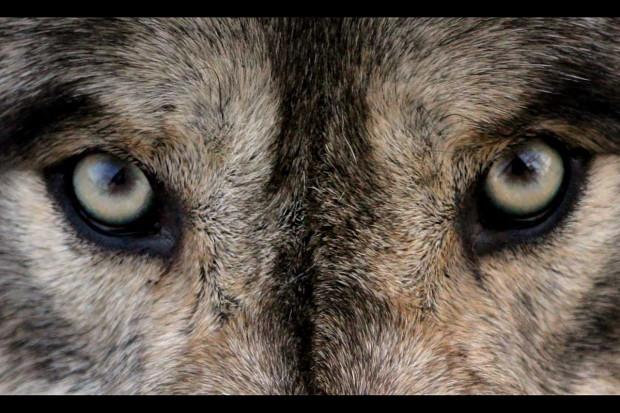 Ile wilków mieszka w lesie? Ile cieląt zjedzą jeszcze?
