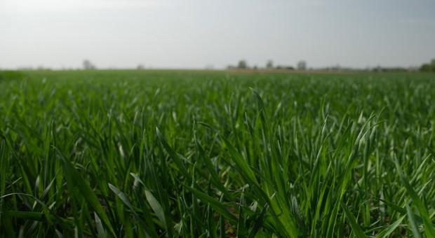 Jaką przyjąć strategię nawożenia zbóż ozimych na wiosnę?
