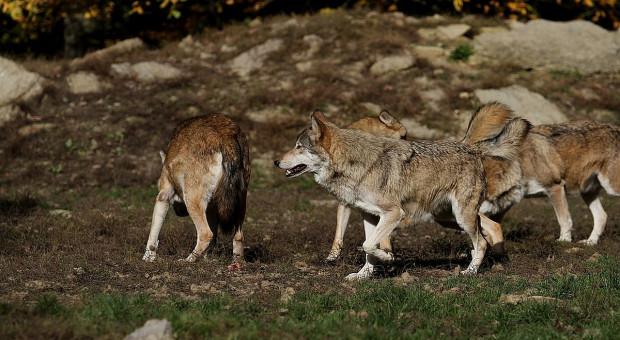 Wataha wilków wtargnęła do gospodarstwa i zagryzła 17 danieli