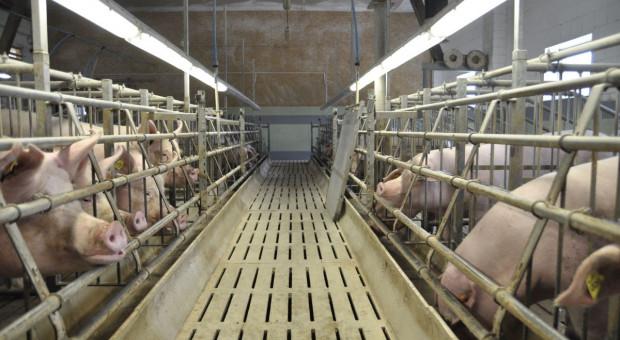 Czy masowa likwidacja loch w Chinach uratuje europejską produkcję wieprzowiny?