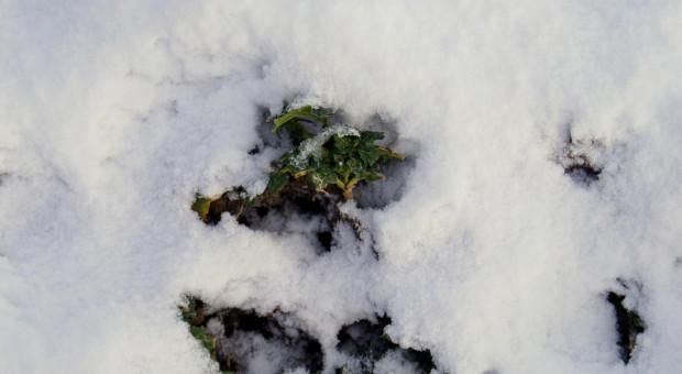 Słownik zjawisk zimowych cz. 3 – wysadzanie roślin i rozrywanie korzeni