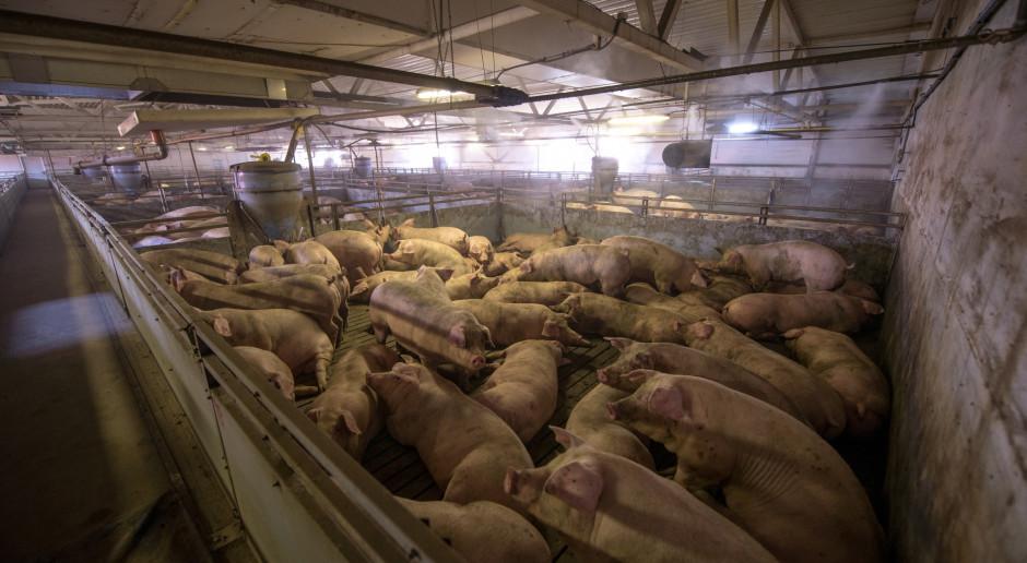 Chiny zgłosiły epidemię afrykańskiego pomoru świń na farmie w Heilongjiang