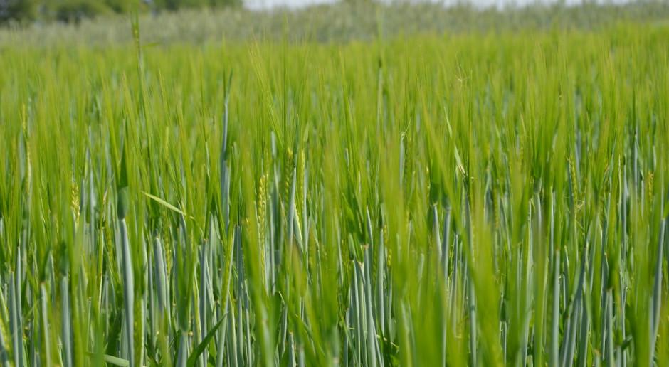 Nawożenie potasem i fosforem pod zboża jare