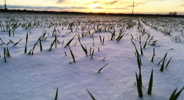 Czy oziminom grozi porażenie pleśnią śniegową?