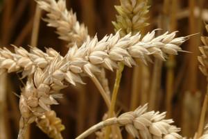 Francja: Stagnacja w plonowaniu roślin uprawnych