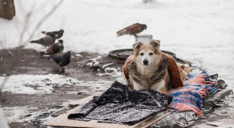 Przyrodnicy: w Polsce żyją dziesiątki tysięcy zdziczałych psów; powodują szkody