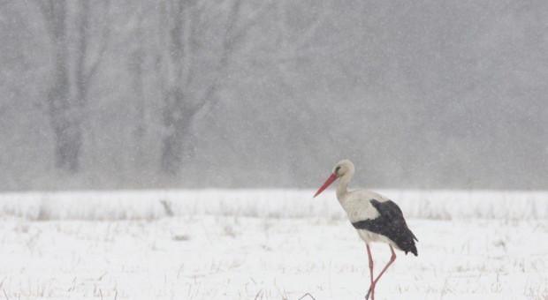 Ponad 80 bocianów spędza zimę w Przemyślu