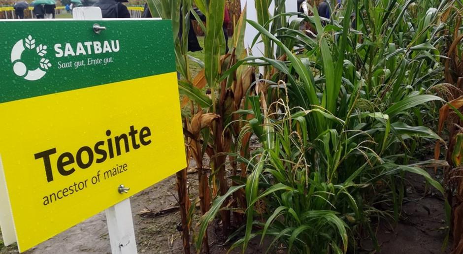 Teosinte – praprzodek i jednocześnie groźny chwast kukurydzy