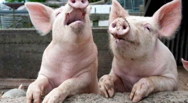 Ardanowski rozmawiał z unijnym komisarzem ws. zakazu importu świń z Litwy