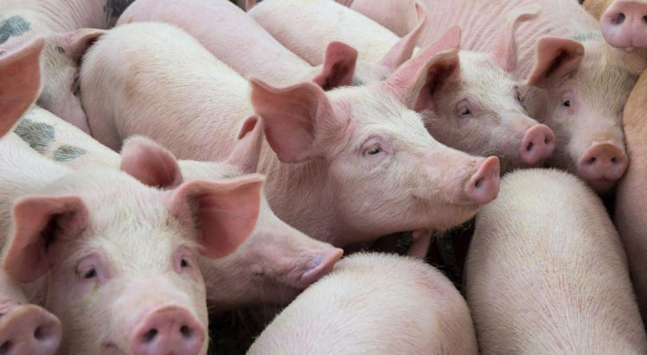 43 tys. świń zostało wybitych od 2014 r. z powodu ASF