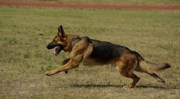 Daniele zagryzł pies, a nie wataha wilków