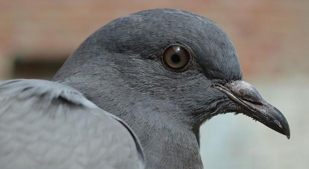 Gospodarzowi grozi więzienie za znęcanie się nad gołębiem