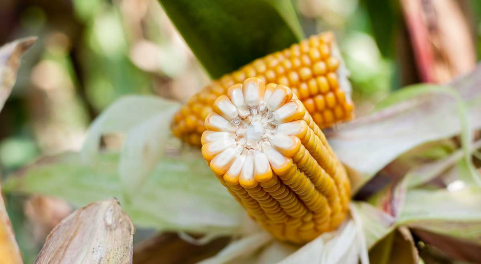 Kukurydza ziarnowa – polecane w tym roku odmiany