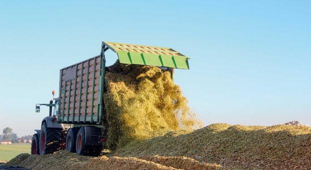 Kiszonka z kukurydzy – polecane na ten sezon odmiany