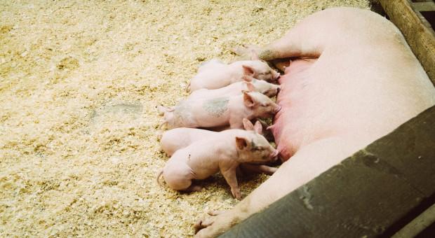Dania: Duże fermy  produkujące prosięta mają przewagę