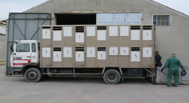 Polskie świnie ze stref ASF transportowane na bardziej rygorystycznych zasadach niż litewskie
