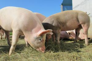 ISN: 2018 ekstremalny rok dla producentów świń