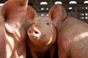 UE: Ceny świń rzeźnych nadal prawie bez zmian