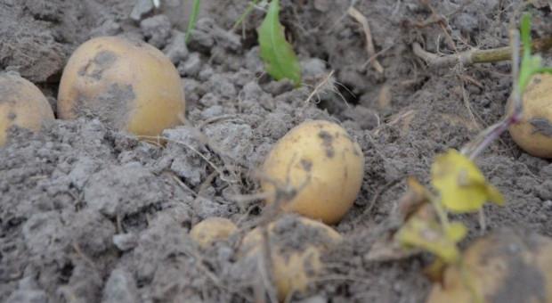 Ziemniak znacznie podrożał - zbiory niższe
