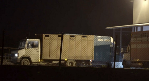 Handel chorym bydłem – nadużycia w ubojni na Mazowszu