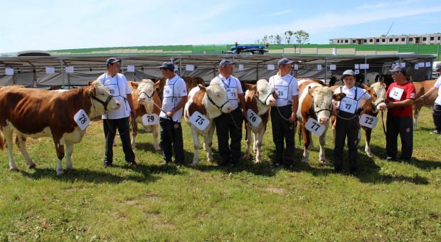 Program do kojarzeń również dla bydła simentalskiego