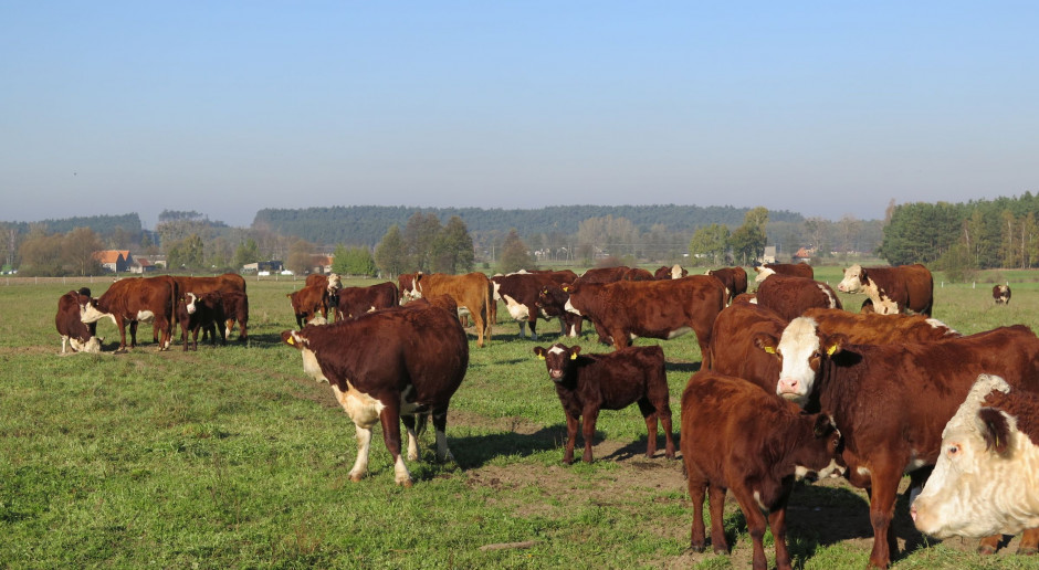 600 mln zł straty hodowców i utrata wizerunku polskiej wołowiny