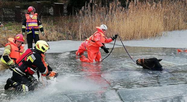 Koń wbiegł na jezioro i zarwał się pod nim lód