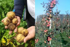Nowości w ziemniaku i uprawach specjalistycznych