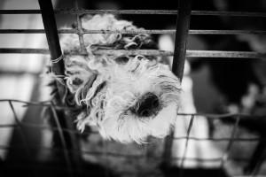 Korea Południowa: 200 psów uratowanych przed zjedzeniem