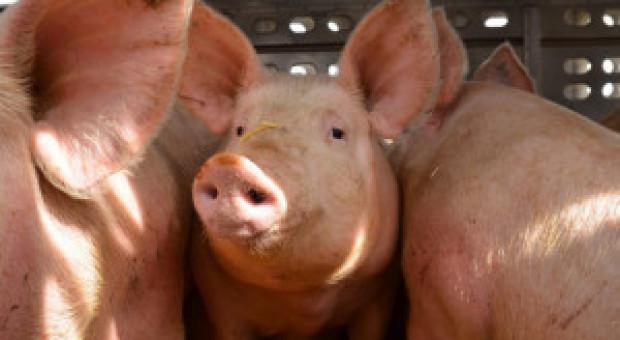 PE domaga się poprawy warunków transportu zwierząt