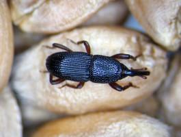 Wołek zbożowy jest chrząszczem o długości 2-5 mm, barwy jasnobrązowej lub czarnej z charakterystyczną głową wydłużoną w ryjek, fot. P. Olejarski