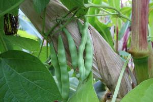 Mieszanka kukurydzy i fasoli