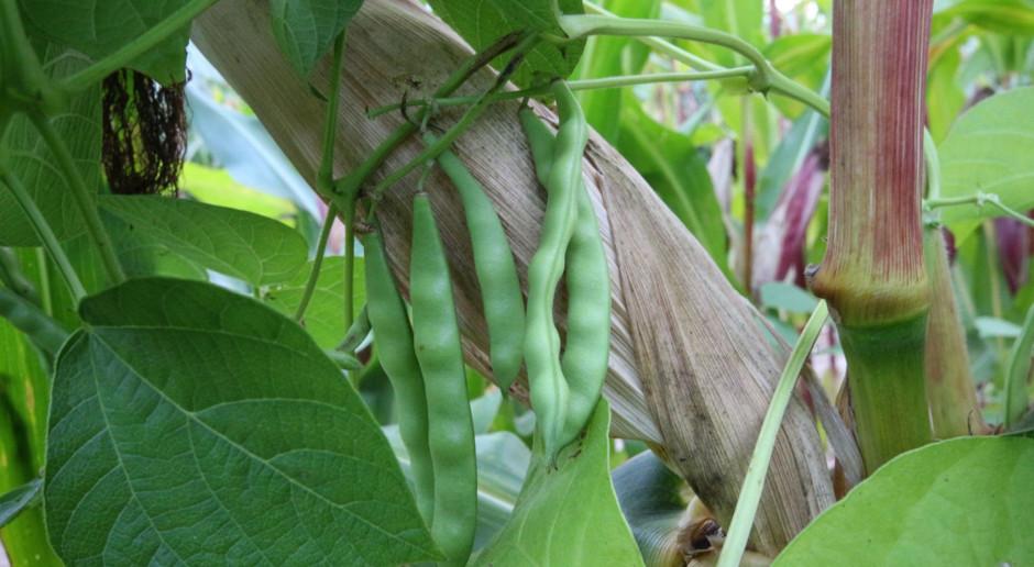 Mieszanka kukurydzy i fasoli od KWS