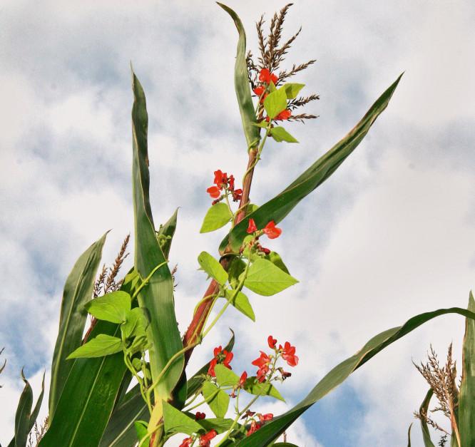 Uprawa mieszanki kukurydzy z fasolą umożliwia m.in. zwiększenie zawartości białka w kiszonce fot. MP