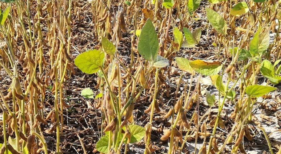 Nowe odmiany roślin pastewnych