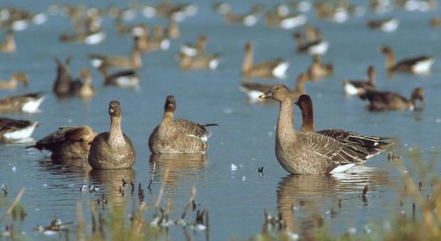 Rozpoczęła się wiosenna migracja gęsi i innych ptaków