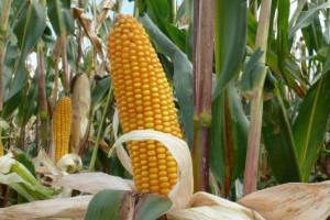 Aż 23 nowe odmiany kukurydzy