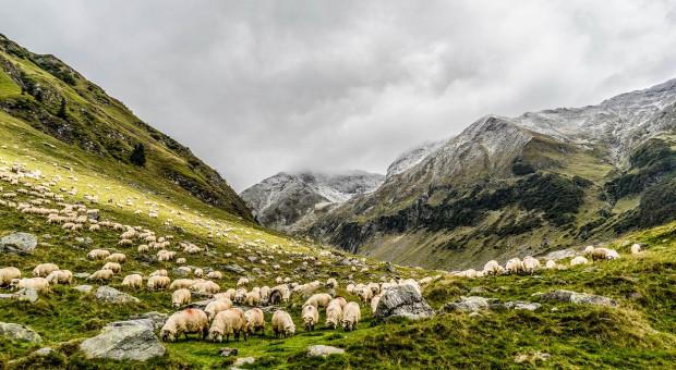 IERiGŻ: 2018 - trudny rok dla producentów owiec w UE