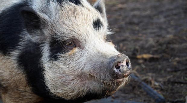 Można występować o rekompensatę za nieutrzymywanie świń w związku z ASF