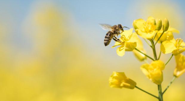 Warroza atakuje pszczoły