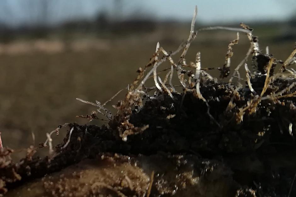 Liczne młode korzenie włośnikowe świadczą o tym, że rzepak wyraźnie poszukuje już składników pokarmowych; Fot. A. Kobus