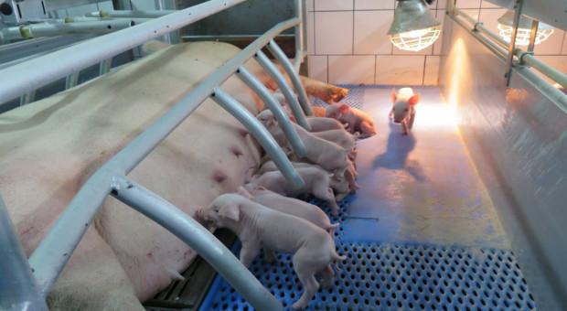 Dzisiejsza konieczność w produkcji świń to standaryzacja i poprawa zarządzania