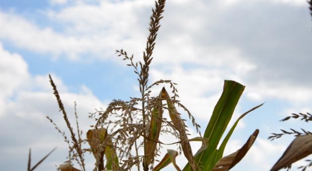 Zmiany wartości klimatycznego bilansu wodnego z punktu widzenia kukurydzy