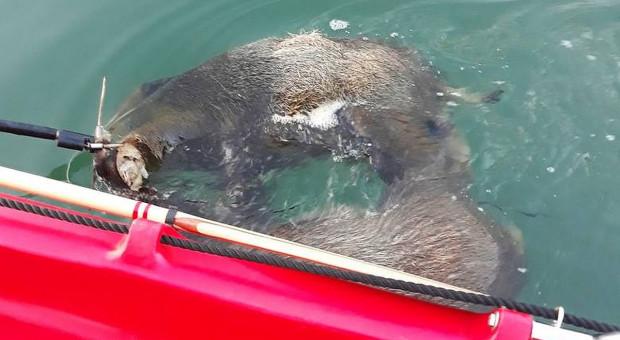 Z Jeziora Tarnobrzeskiego wyłowiono martwe dziki