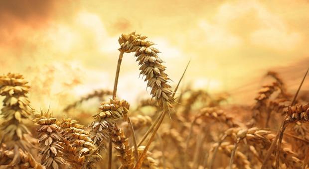 Rosja: Ministerstwo rolnictwa przewiduje większe zbiory pszenicy niż przed rokiem