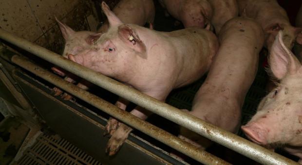 Kiedy spodziewać się poprawy sytuacji na rynku wieprzowiny?