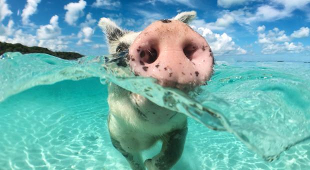 Wieprzowina z Barbadosu zamiast do utylizacji, trafiła do UE